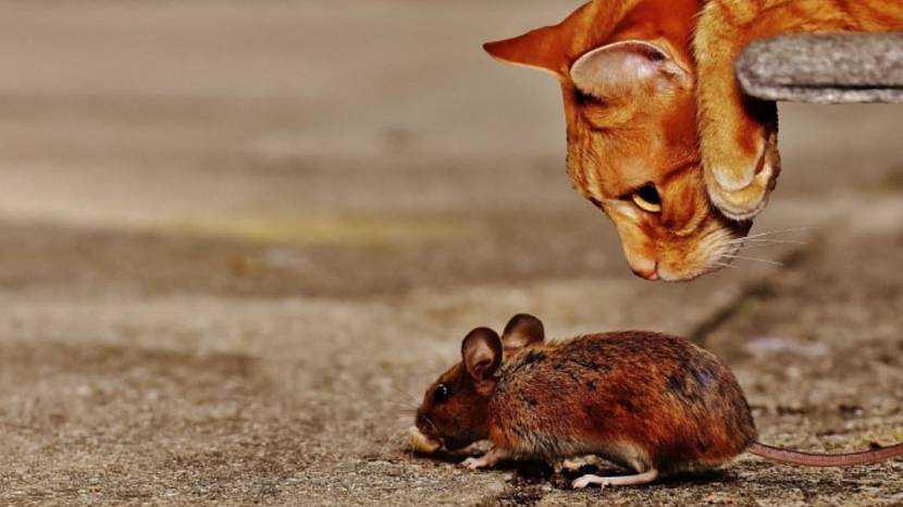 Обзор самых эффективных средств для борьбы с мышами и крысами